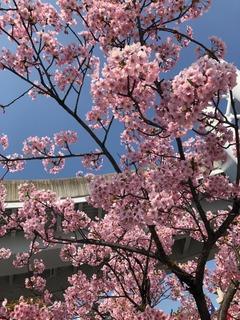 3月桜.jpg
